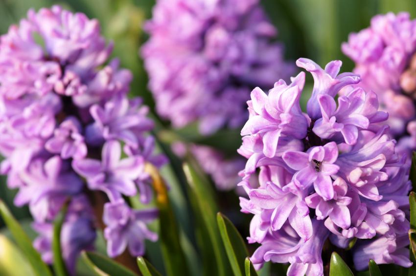 beautiful wedding bouquet-Hyacinths